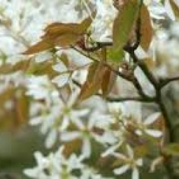 Amelanchier lamarckii Co3l