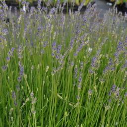 lavandula angustifolia 39 dwarf blue 39 assortiment e flowers. Black Bedroom Furniture Sets. Home Design Ideas