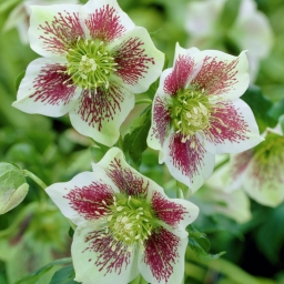 Helleborus 'White Lady Spotted'