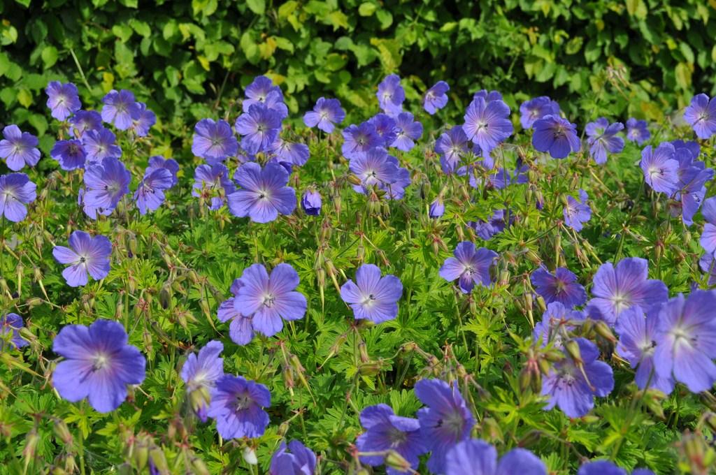Geranium himalayense 'Baby Blue''